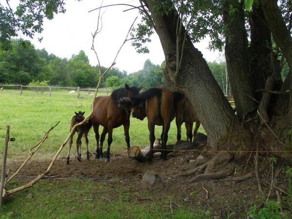 Vŕba a kone