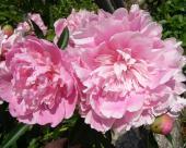 Pivonky ružové