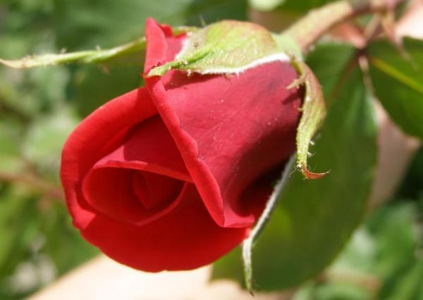 Ruža 2