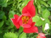 Tulipánik červený